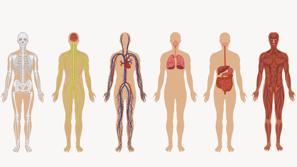 Systems of the human body that need vitamins