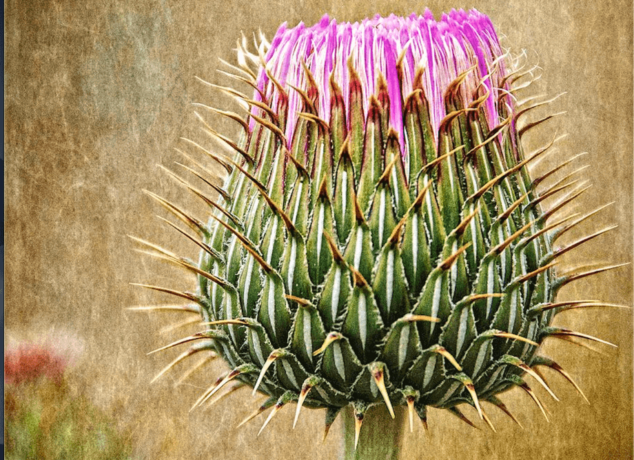 An picture of Milk Thistle