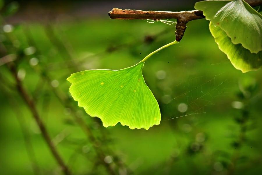 Ginkgo Biloba leaf.