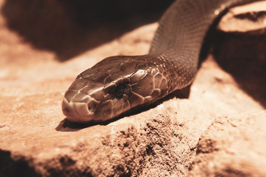 A picture of Black Mamba snake