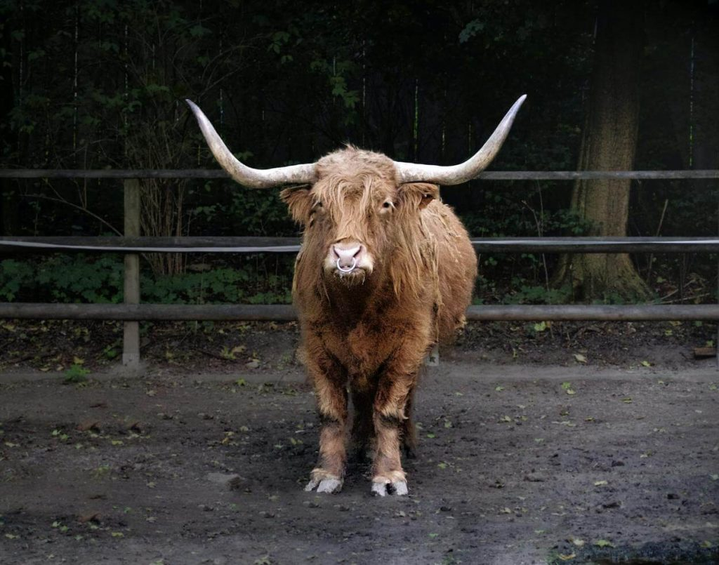 A picture of a brown bull